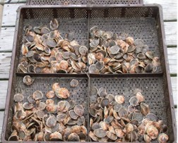 Picture of shellfish