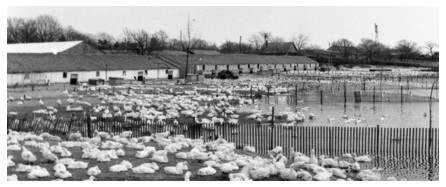 picture of li duck farm in 2009